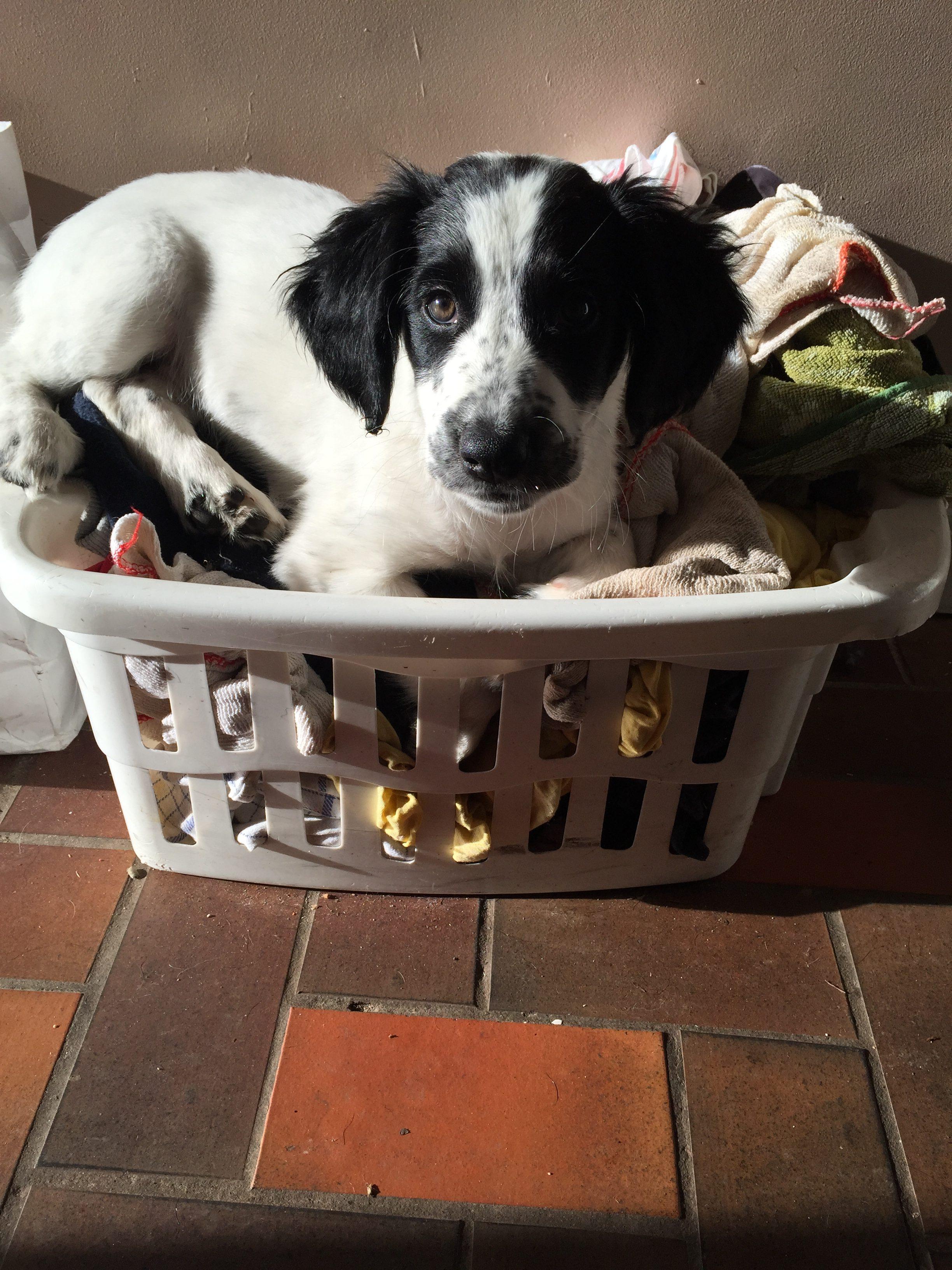puppy-training-development-stages