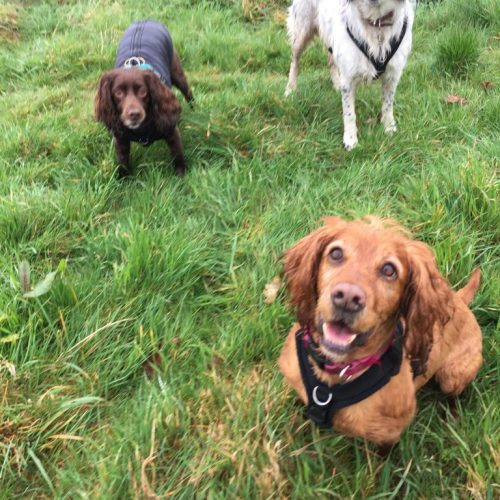 group dog walks coventry
